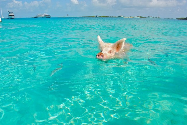 Pig in the water of the Grand Bahamas