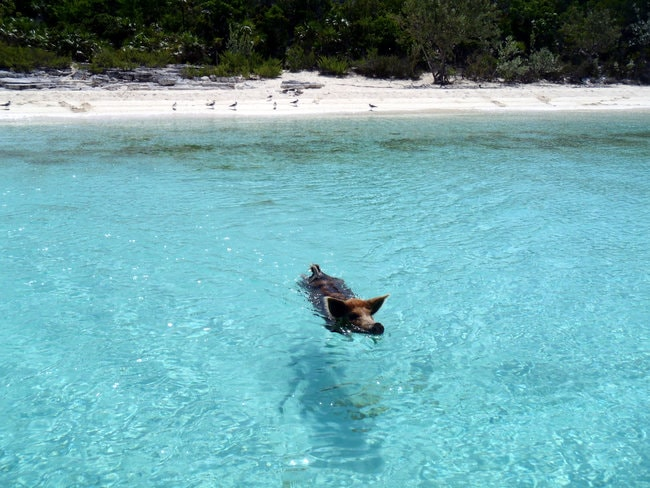 Pig swimming in the sea at Big Major Cay