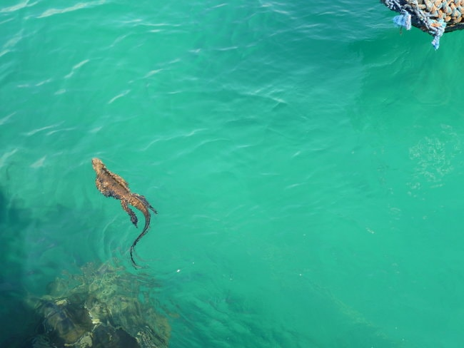 Iriguana swimming in the water in Leaf Cay