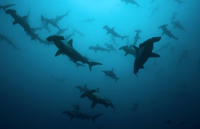 Hammerhead Sharks in Oahu