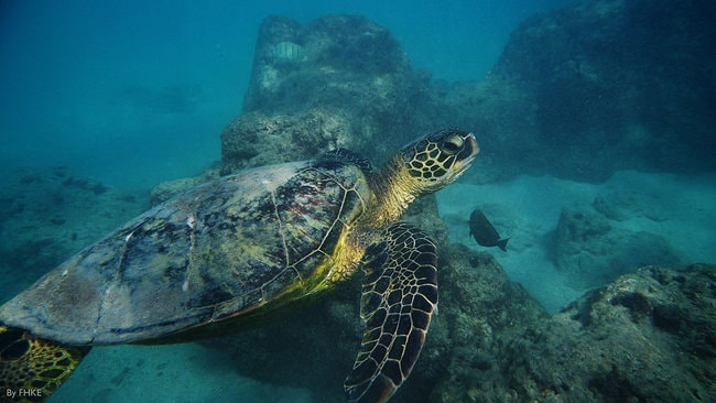 Sea Turtle in Hanauma Bay