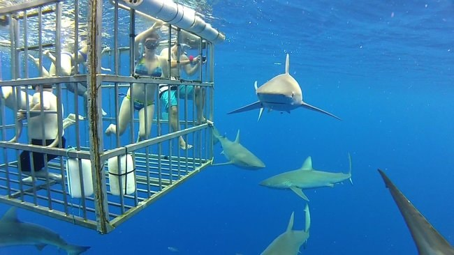 Oahu Sharks Cage Diving Tour