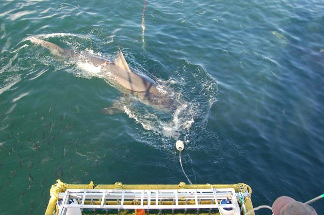 Shark diving tour in Oahu