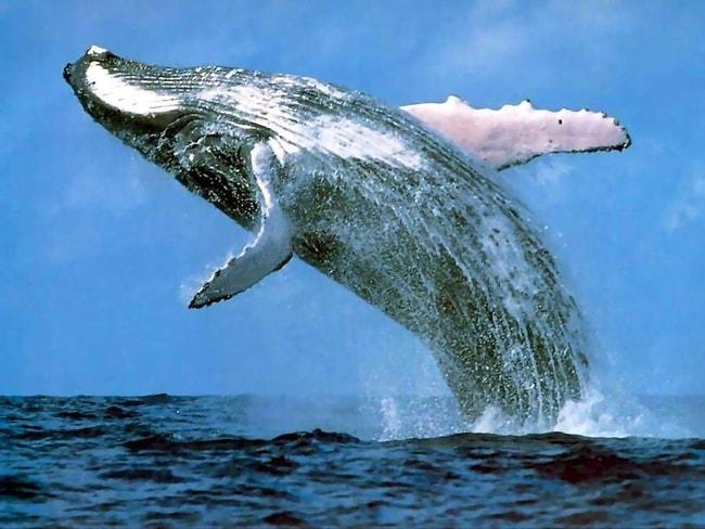 Whale in Marina Puerto Bahia